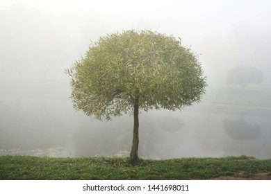 mist above water, young willow tree with curly crown and green thin leaves on bank of river in city park in early morning in foggy weather