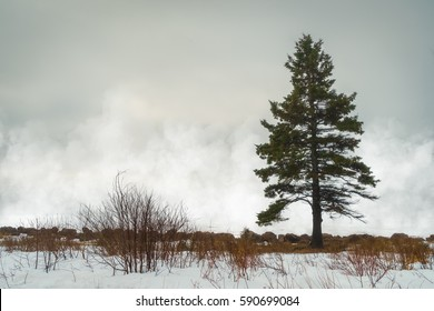 Mist rising off harbour ice are a background for a lone white spruce tree.