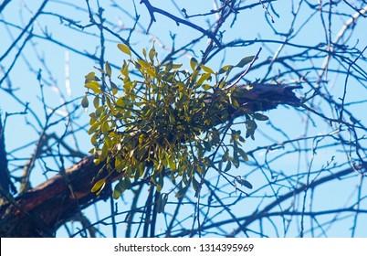 misteltoes on a bare tree in sunlight