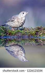 Mistle thrush is on the edge of the pond, the Netherlands