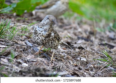 Mistle thrushes are the largest of thrush with fatter belly longer tail smaller head Both sexes have grey brown plumage bold spots on the breast pale wing edges dark eyes black bill and yellowish legs
