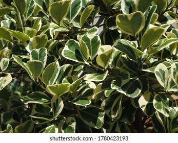 Mistletoe Fig or Mistletoe Rubber Plant (Ficus deltoidea) leaf foliage