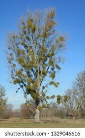Mistletoe plant (Viscum album) on Poplar Tree,Rhineland,Germany