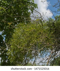 Mistletoe (Viscum album) Attached to an Apple Tree (Malus domestica) in Rural Somerset, England, UK