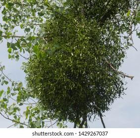 Mistletoe (Viscum album) Attached to a Host Beech Tree (Fagus sylvatica) in a Garden in Rural Somerset, England, UK