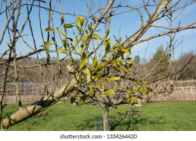 Mistletoe (Viscum album) Bathed in Winter Sun Growing on the Branch of an Apple Tree in an Orchard in Rural Devon, England, UK