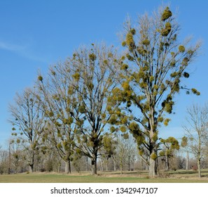 Mistletoe (Viscum album) on Poplar tree,Rhineland,Germany
