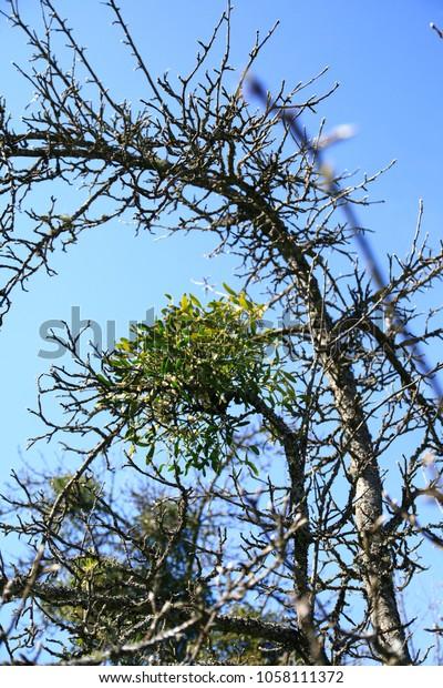Mistletoes Sprigs Mistletoe Parasite Apple Tree Stock Photo Edit