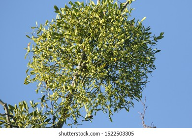 Mistletoe,Viscum album, growing from a large tree in woodland in the UK.