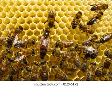 Mistress bee colonies (queen) in the summer puts up to 1,000 eggs per day. It is necessary for the reproduction of bees.