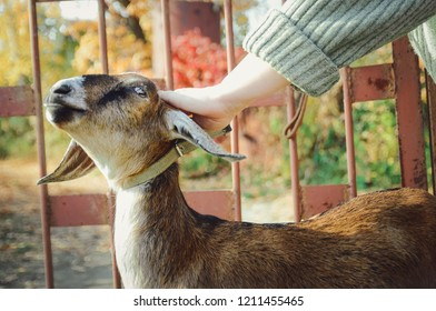The mistress strokes a young Nubian goat.