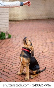 Mistress is training a Bloodhound puppy. The puppy performs the command sit, looking at the treat in the hand of the mistress.