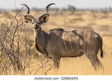the mistrust of the kudu