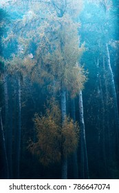 Misty autumn forest with yellow colored fir trees.