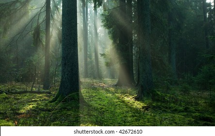 Misty autumnal coniferous stand of Bialowieza Forest at sunrise with old spruces and mossy bottom