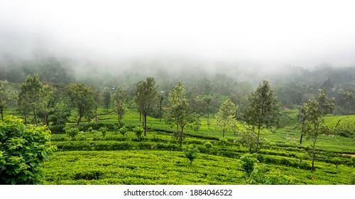 Misty cold weather in green tea estate in Hapthale, Srilanka.