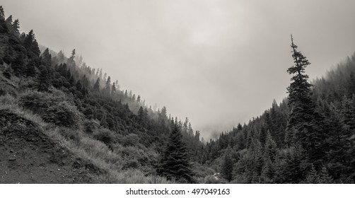 Misty dreamy landscape and pine forest