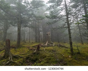 A misty evergreen forest with tree stumps