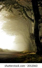 misty fall, beech trees in fog