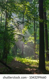 Misty forest in morning with illuminated path among trees, Bialowieza Forest, Poland, Europe