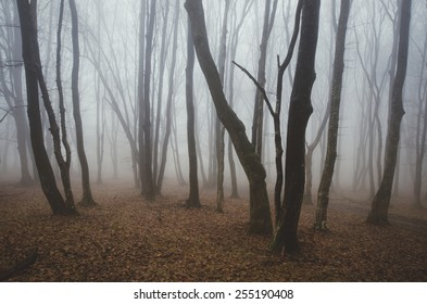 misty forest with twisted trees