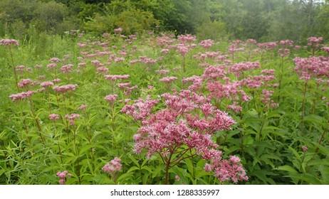 Misty Forest Wildflower Meadow with Joe Pye Weed