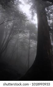 Misty Forest Yakushima