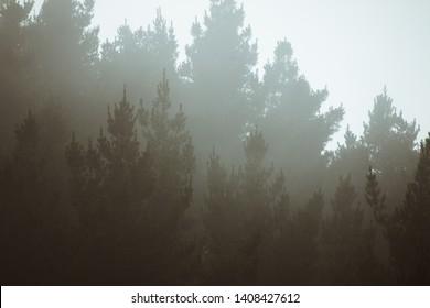 Misty landscape dark moody pine forest background
