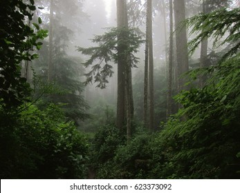Misty magic forest on Vancouver Island, Canada