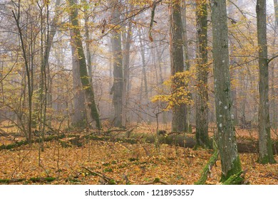 Misty morning in autumnal natural deciduoud forest, Bialowieza Forest, Poland, Europe