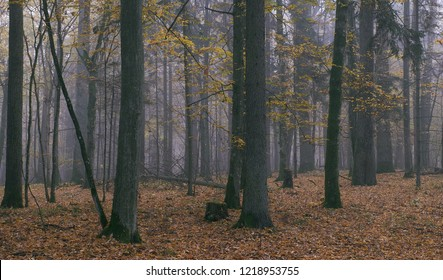 Misty morning in autumnal natural forest, Bialowieza Forest, Poland, Europe
