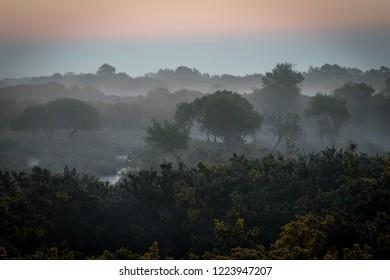 Misty morning on heathland with gorse