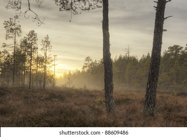 Misty morning over a marsh, pine trees in the foreground, middle of Sweden
