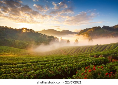 misty morning sunrise in strawberry garden at doi angkhang mountain, chiangmai : thailand