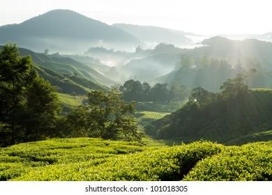 Misty morning at tea plantation farm