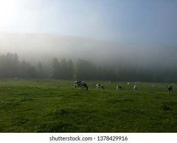 A misty morning view of a green pasture with black and white Holstein cows and trees in the background, in the Ardennes region of Belgium