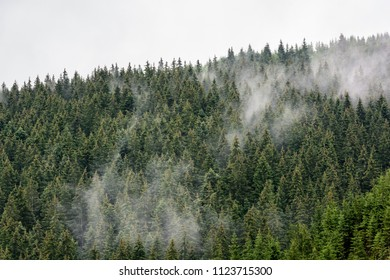 Misty morning view in wet mountain area. Dense pine forest in morning mist.