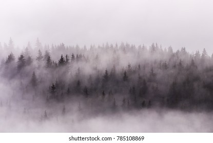 Misty morning view in wet mountain area . Winter Pine Forests.