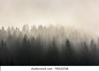 Misty morning view in wet mountain area.  Pine Forests.