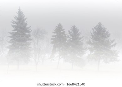 Misty morning in the woods or park. Silhouette of spruce trees grove in thick white morning fog. Pale color wood obscure by moisture in the mountains forest air.