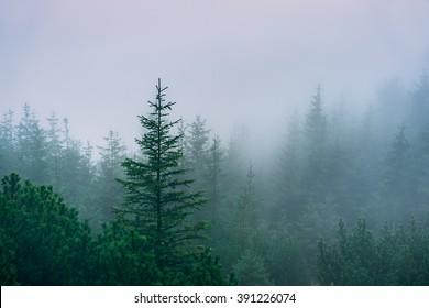 Misty mountain forest. Western Tatra Mountains, Poland