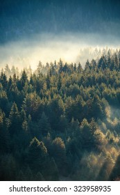 Misty pine forest on the mountain slope in a nature reserve