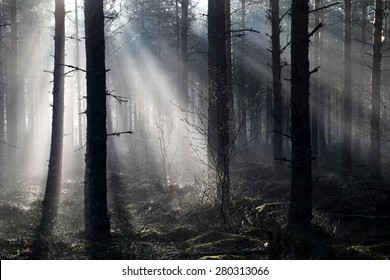 Misty spring morning in Pine tree forest in Southern Finland.