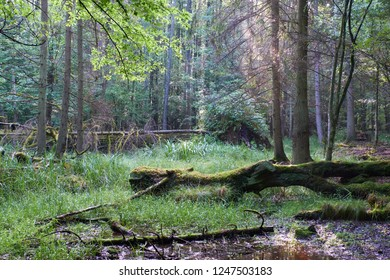 Misty sunrise morning in deciduous forest with old trees and broken partly declined ones,Bialowieza Forest, Poland, Europe