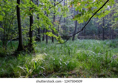 Misty sunrise morning in deciduous forest with old alder trees with grassy bottom,Bialowieza Forest, Poland, Europe