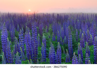 Misty sunrise over the lupine field