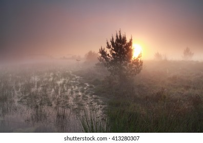 misty sunrise over wild swamp, Kampina, Netherlands