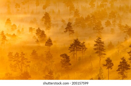 Misty trees growing in the Torronsuo Swamp in Finland on an early morning.