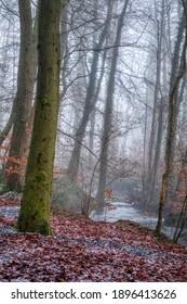 Misty woodland scene with fallen Beech leaves