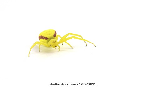 Misumena vatia: a female yellow crab spider who uses camouflage to catch prey and is usually found on a yellow or white flower. This female was in a garden in Washington state. Isolated on white.